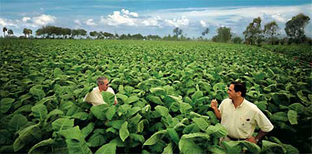 Jose and Jorge Padron in a tobaccofield